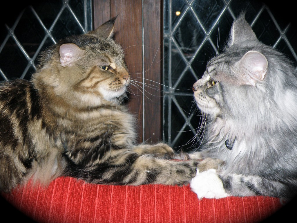 Wild Onion Maine Coons – Maine Coons Kittens Hand Raised