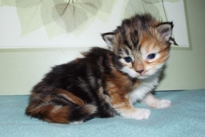 Brown Patch Tabby with White,