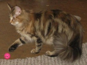 Gypsy ,Brown classic patched tabby female