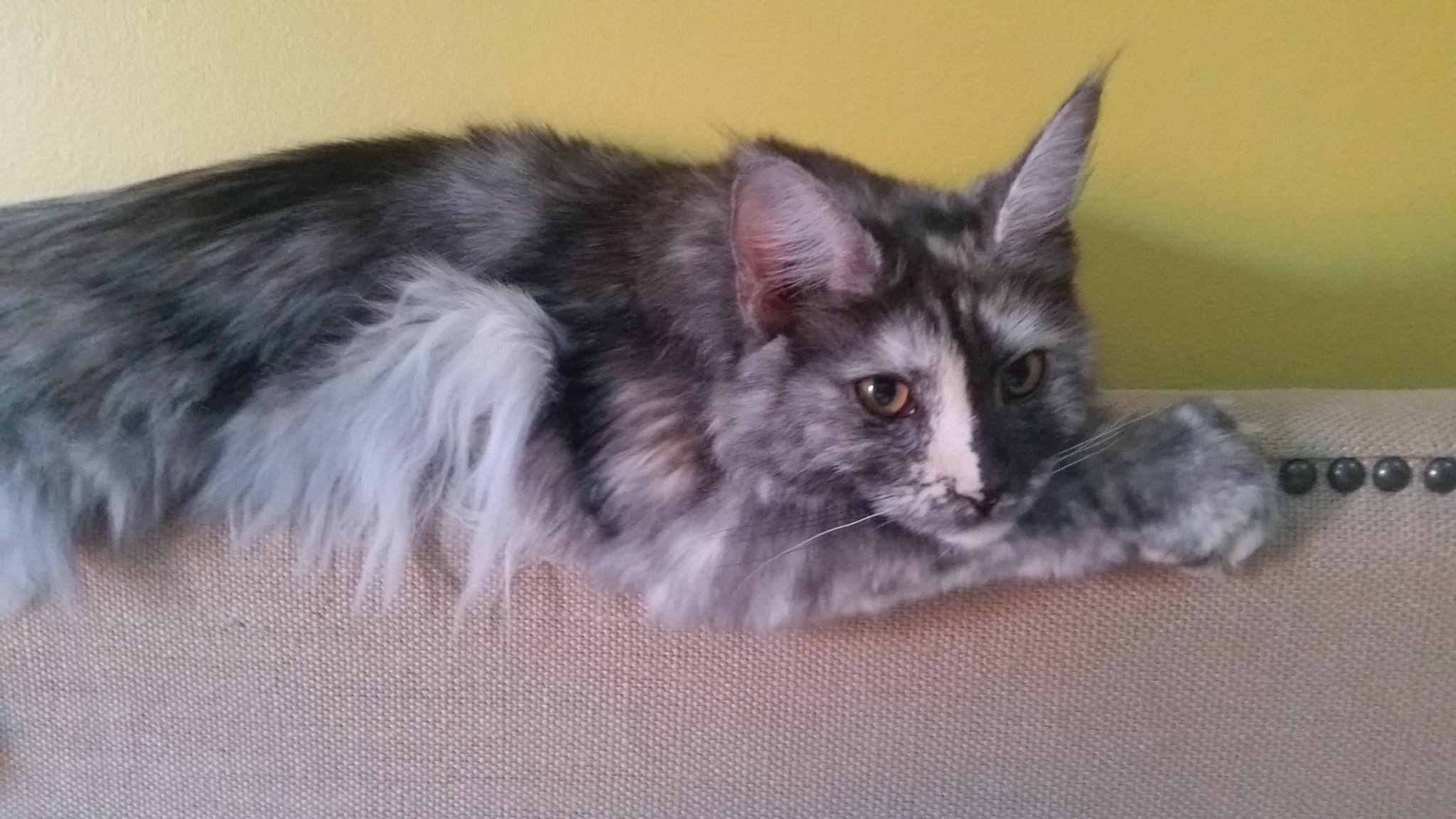 Harley is a newer breeding female, she is a black smoke tortoiseshell.