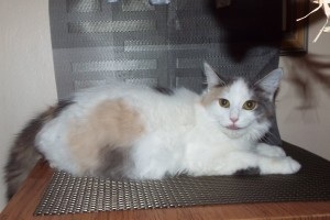 Patches Calico female, bred to Ozzie, due  first week June