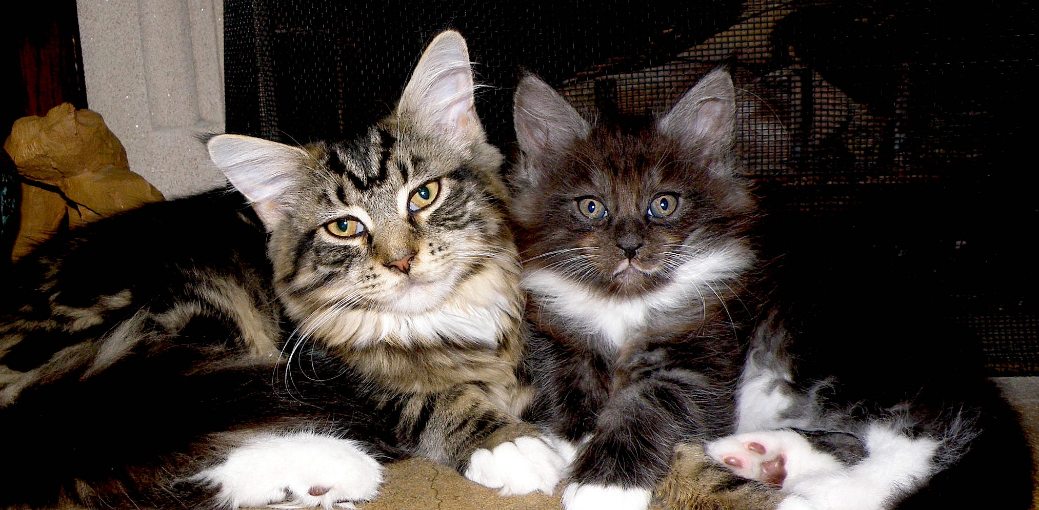 Wild Onion Maine Coons