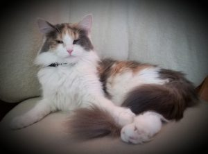 Cornelia a newer breeding female is bred to Leo  a classic brown tabby, due July 12th