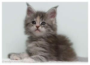 Silver Patch Tabby