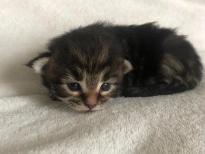 Maine Coon Kittens, kittens and more KITTENS!!! 4 month old